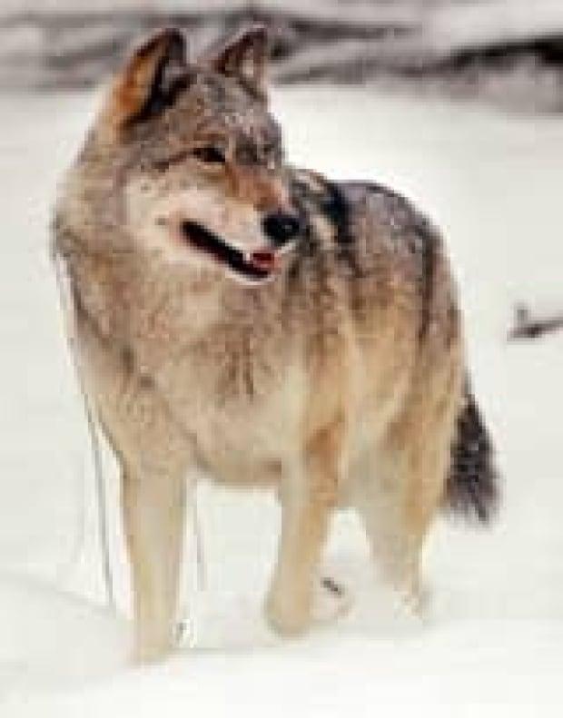 mi-wolf-cp