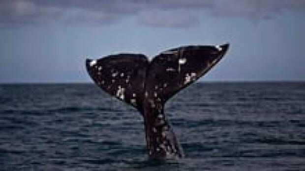 sm-220-grey-whale-ap-00892087