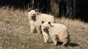 mi-bc-111101-white-bears-elkford