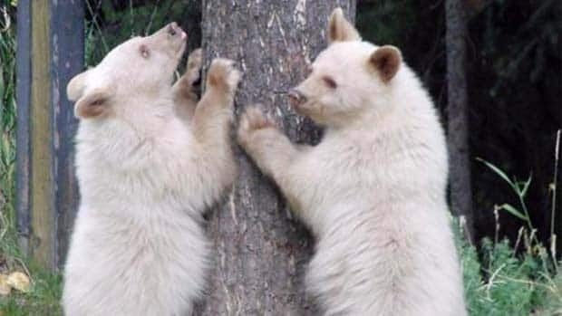 The unusual white bears could meet the same fate as dozens of others that have to be shot in B.C. each year.
