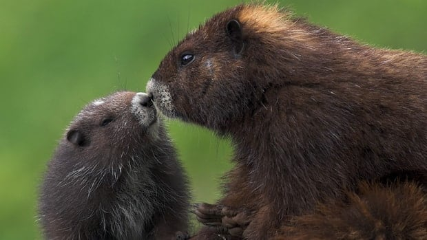 The Vancouver Island marmot is 1 of 8 North American species the zoo is working to preserve.