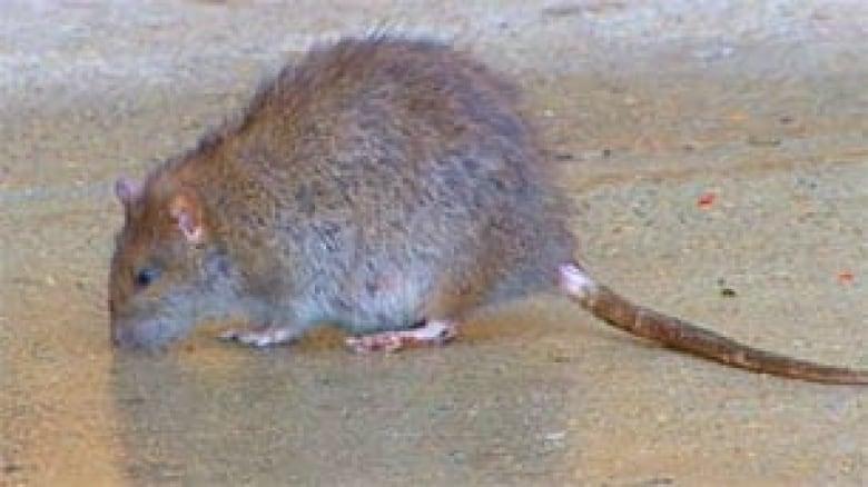 Rats bite sleeping Swift Current residents | CBC News