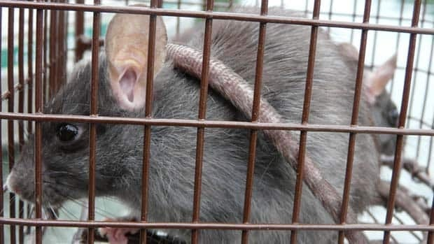 This captured rat on Haida Gwaii might be luckier than most others which are being poisoned.