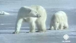 tp-polar-bears-pair-cbc