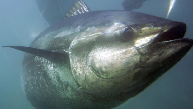 The bluefin tuna in the Mediterranean and eastern Atlantic has become an emblematic fish highlighting the collapse of stocks around the world. (Chris Park/Associated Press)