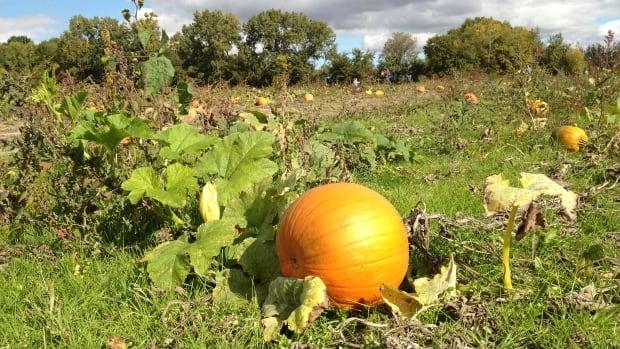 McLeod Farms' pumpkin patch has 20 per cent fewer pumpkins this year.