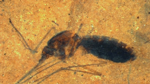 The fossilized female mosquito had an abdomen that looked distended and dark-coloured. Inside, researchers found heme, which carries iron in the blood.