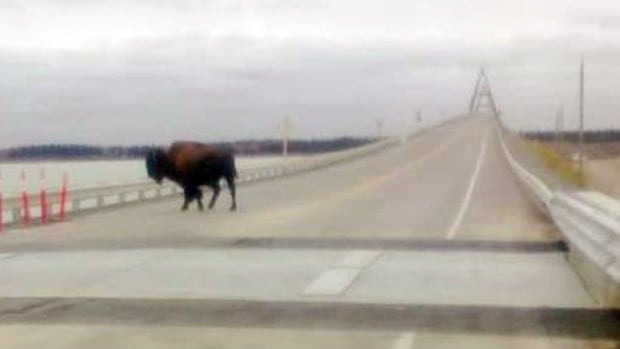 Many people spotted a bison on the Deh Cho Bridge this weekend, which recently installed cattle guards to dissuade the animals.