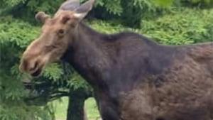 tp-ott-moose-100601-closeup