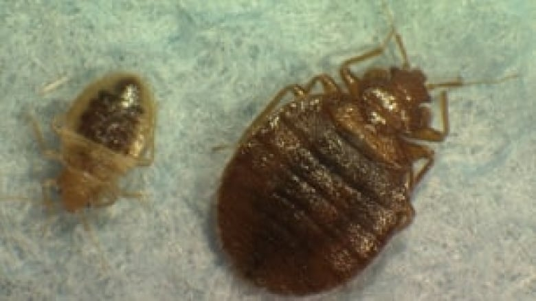 Bed Bugs Becoming Real Pests In Winnipeg Cbc News