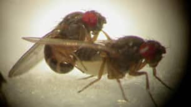 Promiscuous Females Ensure Fruit Fly Survival - Technology -6278