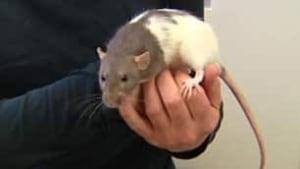 tp-cgy-matilda-rat