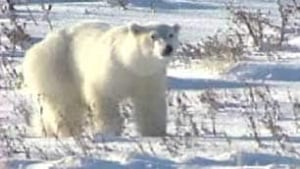 tp-polar-bear-solo-cbc