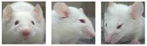 mouse-grimace
