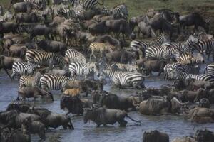 100916-serengeti-wildebeests-zebras-ap-9260620-584px