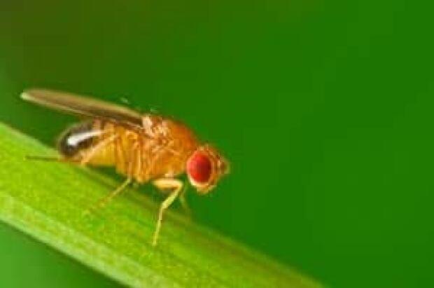 fruitfly-istock-091015