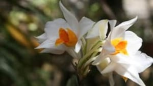 dendrobium_daklakense_photo