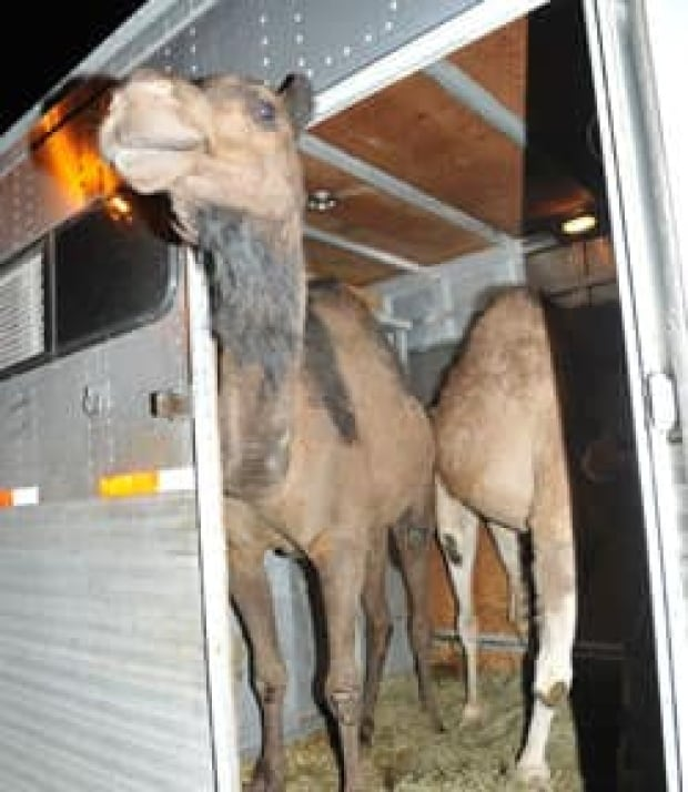 mtl-shawn-todd-camels-rescued