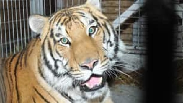 mtl-jonas-the-tiger-rescued