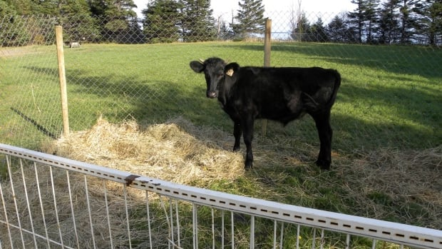 Park technician Jordan Post said this cow moved like a shadow in the woods.