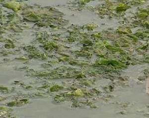 pe-algae-river-close