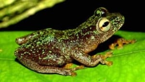reedfrog-hyperolius-sankuruensis-by-jos-keilgast-306px
