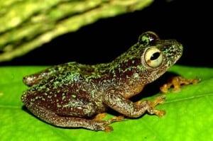 reedfrog-hyperolius-sankuruensis-by-jos-keilgast-584px