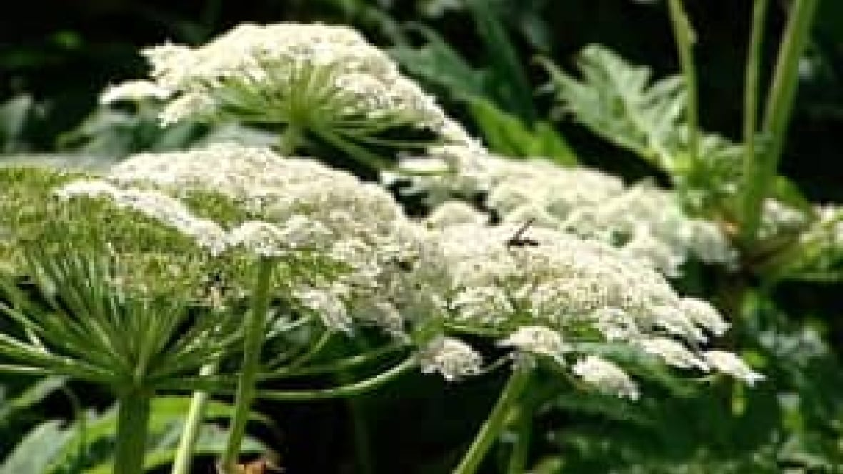 Report Giant Hogweed Nature Conservancy Urges About Toxic Species Kitchener Waterloo Cbc News