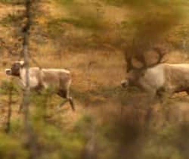 nl-caribou-boreal-file