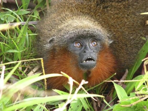 100813-new-monkey-caqueta-titi-ap-9196279-584px