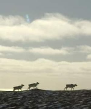 nl-caribou-horizon-file