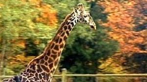 bc-100205-giraffe1