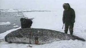 tp-inuit-narwhal-hunt-file