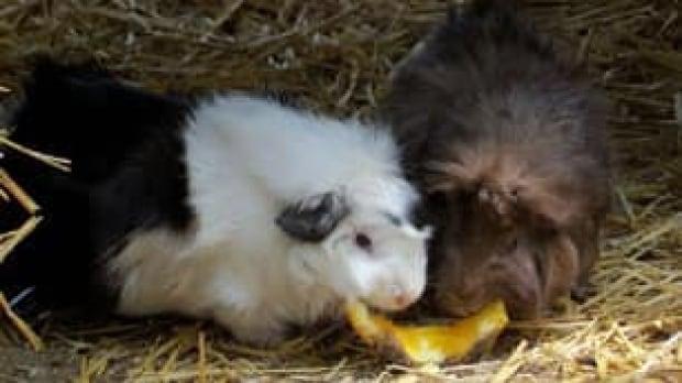 edm-guinea-pigs-kirman