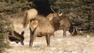 tp-cgy-banff-elk