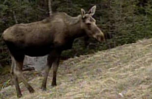 nl-moose-cull-070110