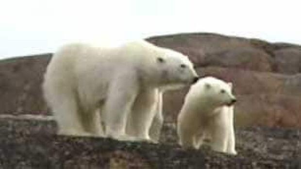 tp-polar-bears-file306