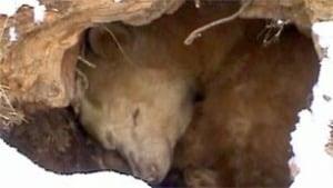 bc-100218-kermode-bear-webcam