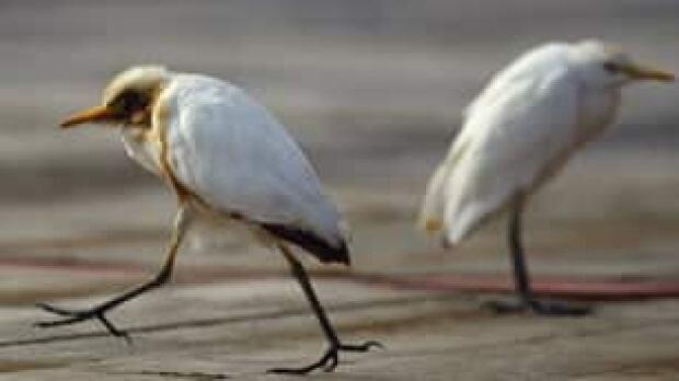 egret-oil-gulf-mexico