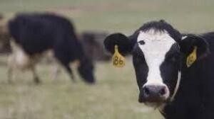tp-gen-cow