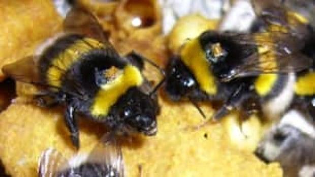 bumblebee_rfid_2