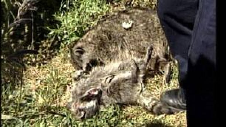 Raccoon deaths prompt B C  SPCA investigation | CBC News