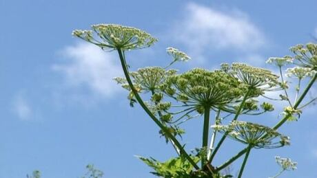 Guelph hikers warned to watch out for giant hogweed