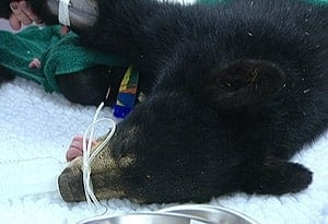 bear2-surgery-cbc-300-100819