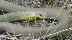 sk-snake-poullin-100218