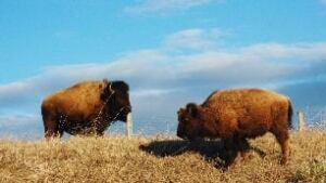 tp-ed-bison