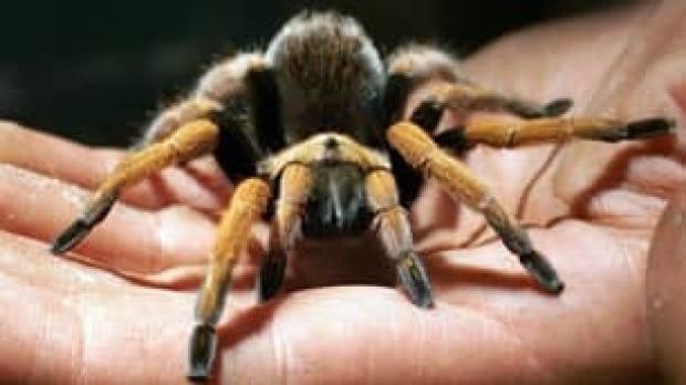 tarantula-1225640-cp