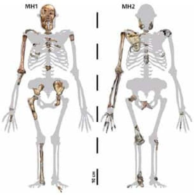 sediba-skeletons
