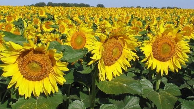 Residents in High River, Alta., are planting sunflowers to absorb all the toxins and chemicals deposited in their soil during last summer's floods.