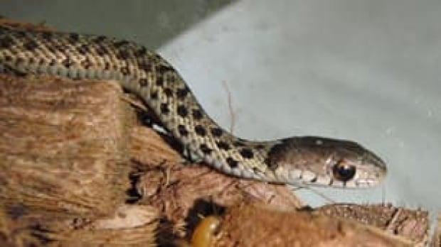 nl-baby-snake-101